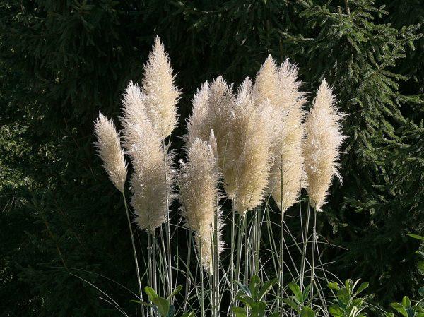 erba della pampa