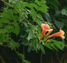 bignonia grandiflora