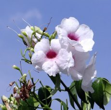 bignonia semperflorens