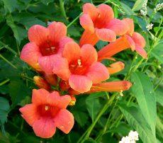 bignonia radicans